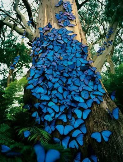 mariposasazules