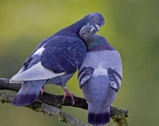 palomas-emparejadas-imagen